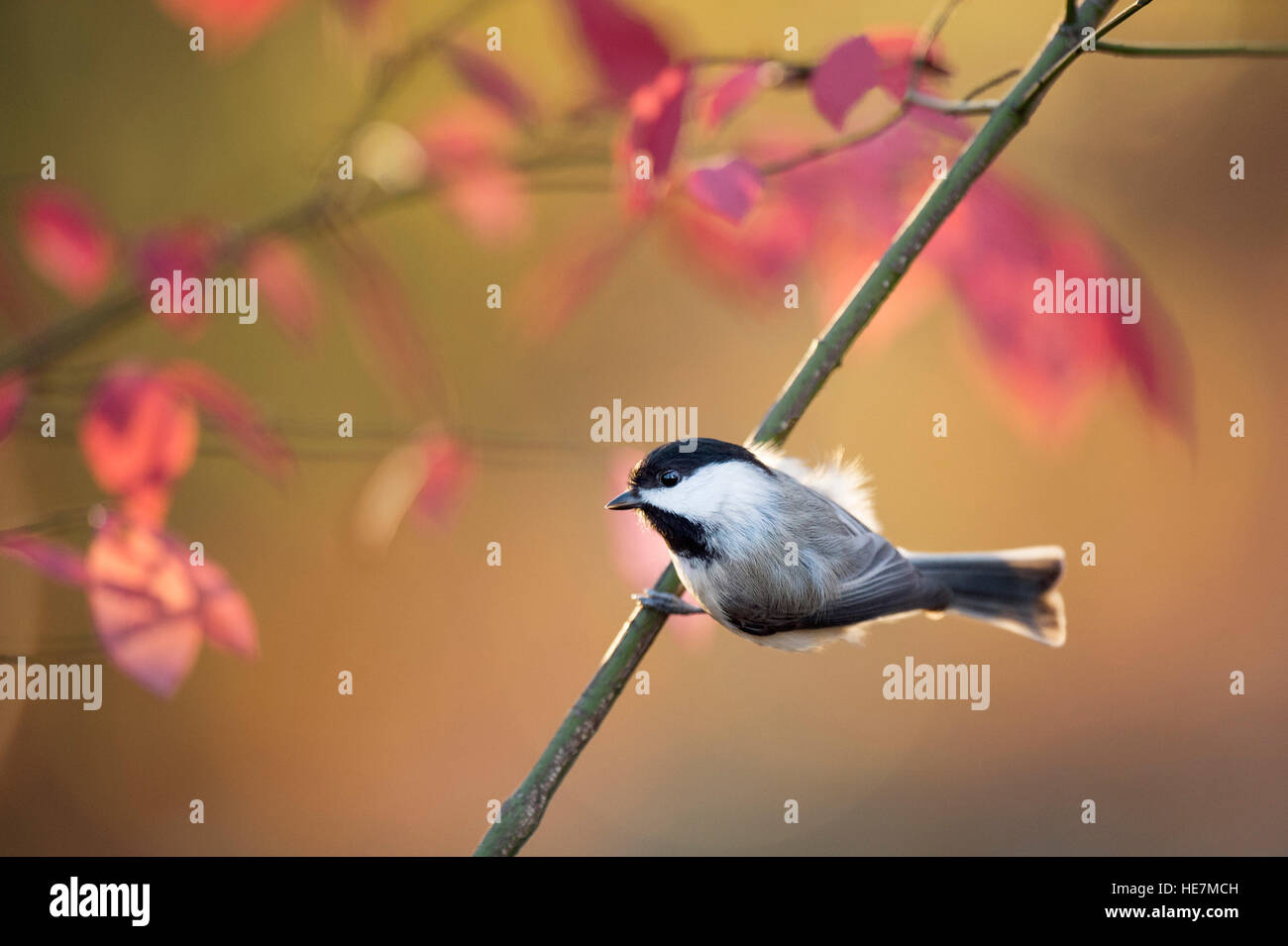A tiny cute Carolina Chickadee perches on a branch with colorful red leaves in the background. - Stock Image