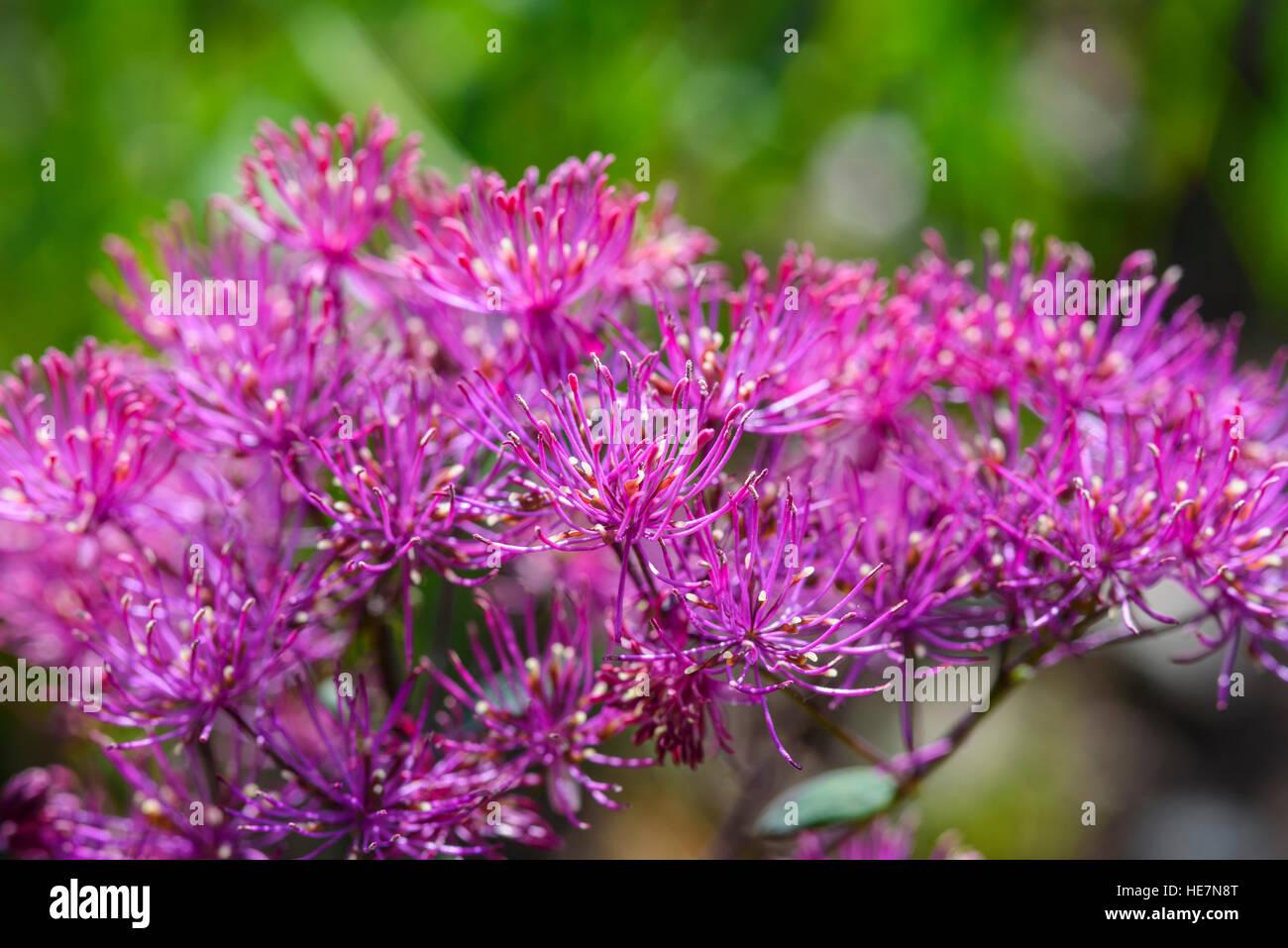 Thalictrum aquilegiifolium Small Thunder Cloud, cultivated garden flower - Stock Image