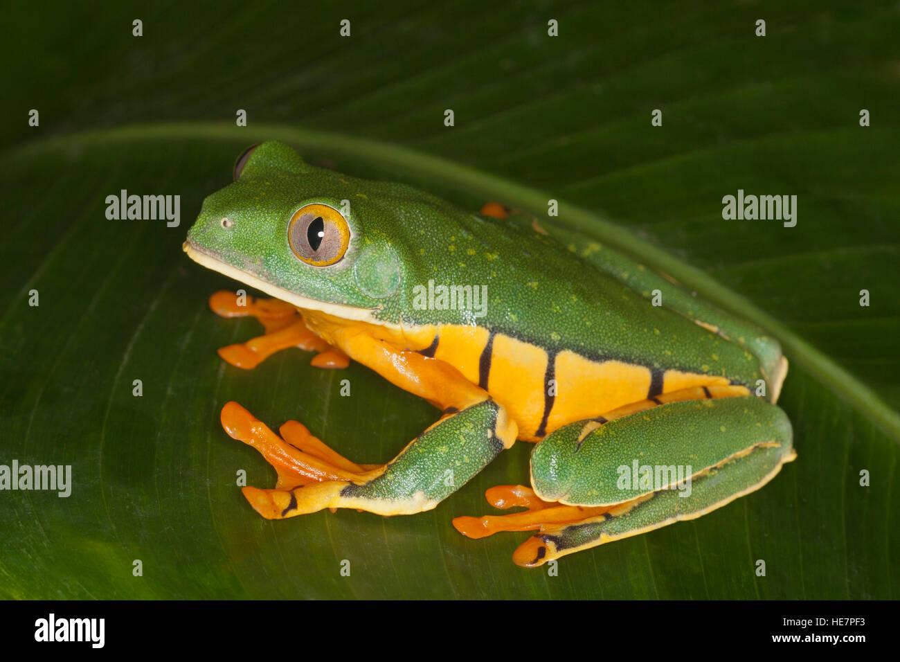 Golden-eyed Leaf Frog (Cruziohyla calcarifer) on leaf Stock Photo