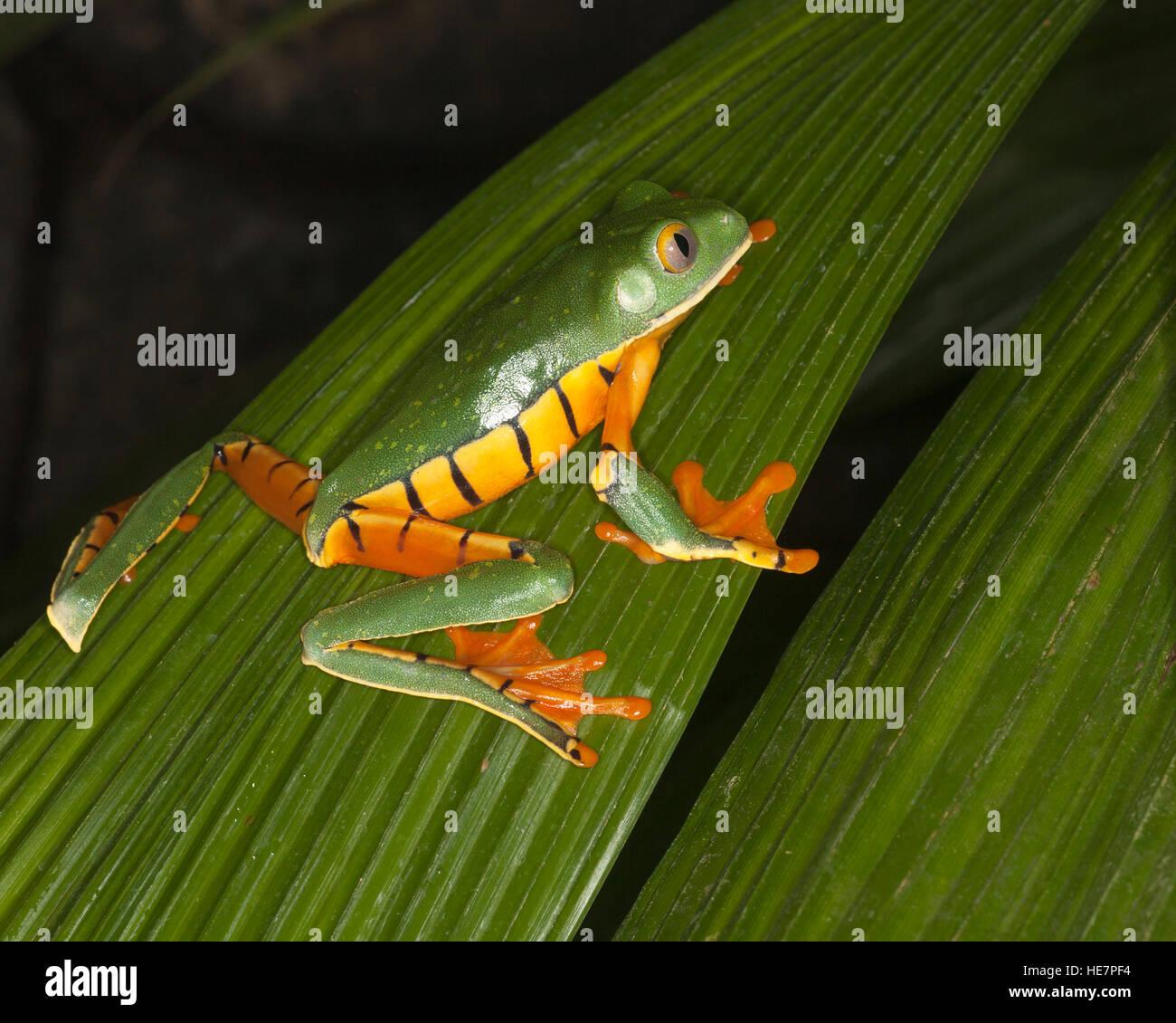Golden-eyed Leaf Frog (Cruziohyla calcarifer) on a leaf in a tropical garden Stock Photo