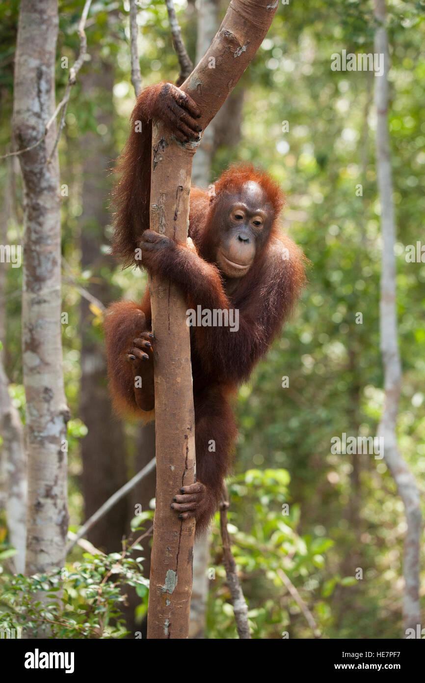 Wild Bornean Orangutan (Pongo pygmaeus) climbing down tree at Camp Leakey - Stock Image
