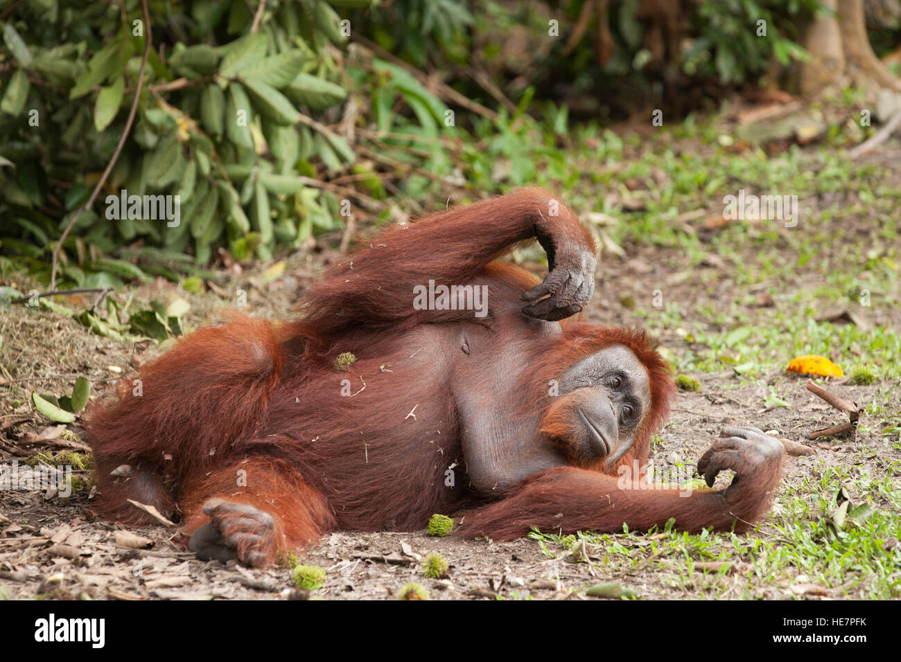 Wild Bornean Orangutan (Pongo pygmaeus) lying on the ground at Camp Leakey - Stock Image