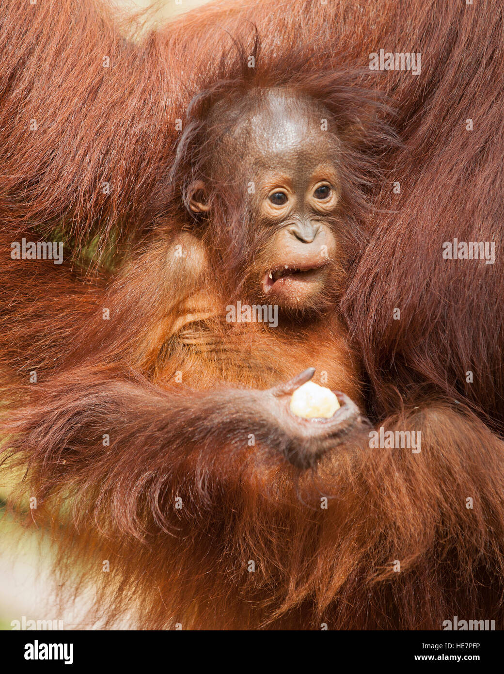 Wild Bornean Orangutan baby (Pongo pygmaeus) making a face while clutching piece of banana from supplemental feeding - Stock Image