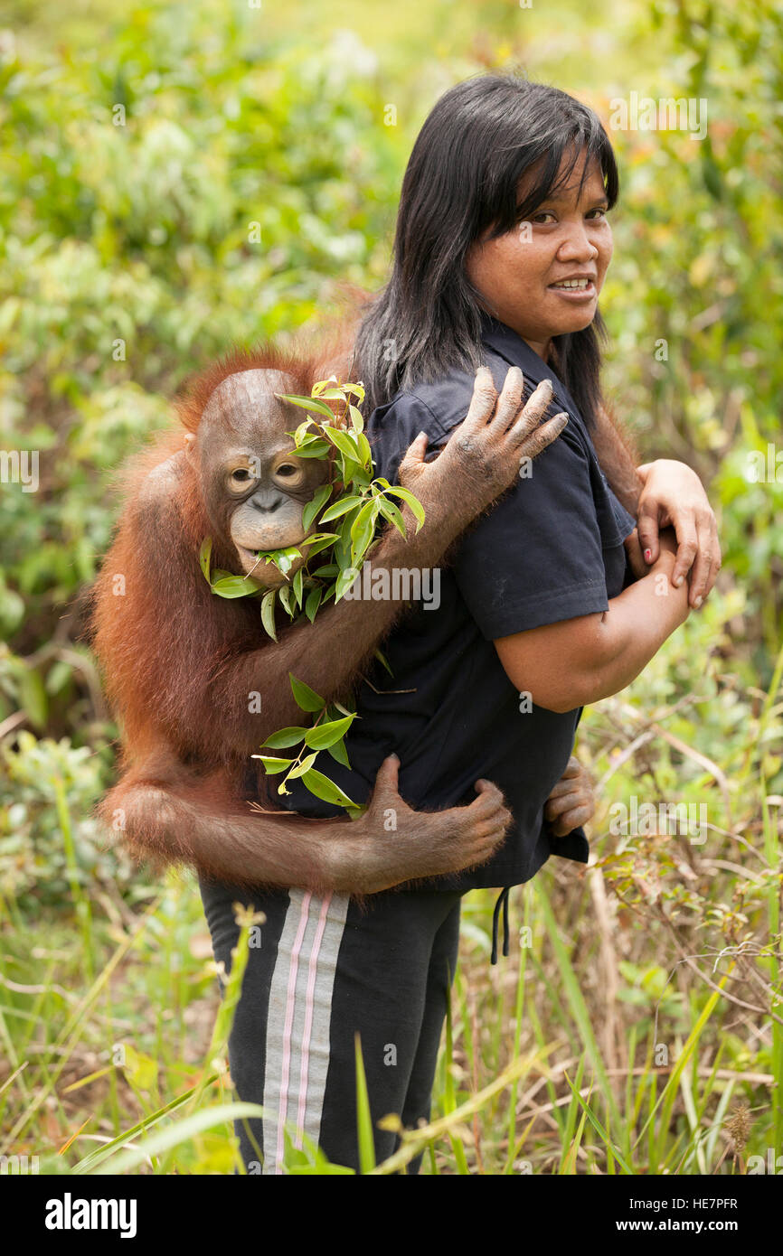 Young orphan orangutan clinging to caretaker's back on the way to outdoor play session at the Orangutan Care - Stock Image