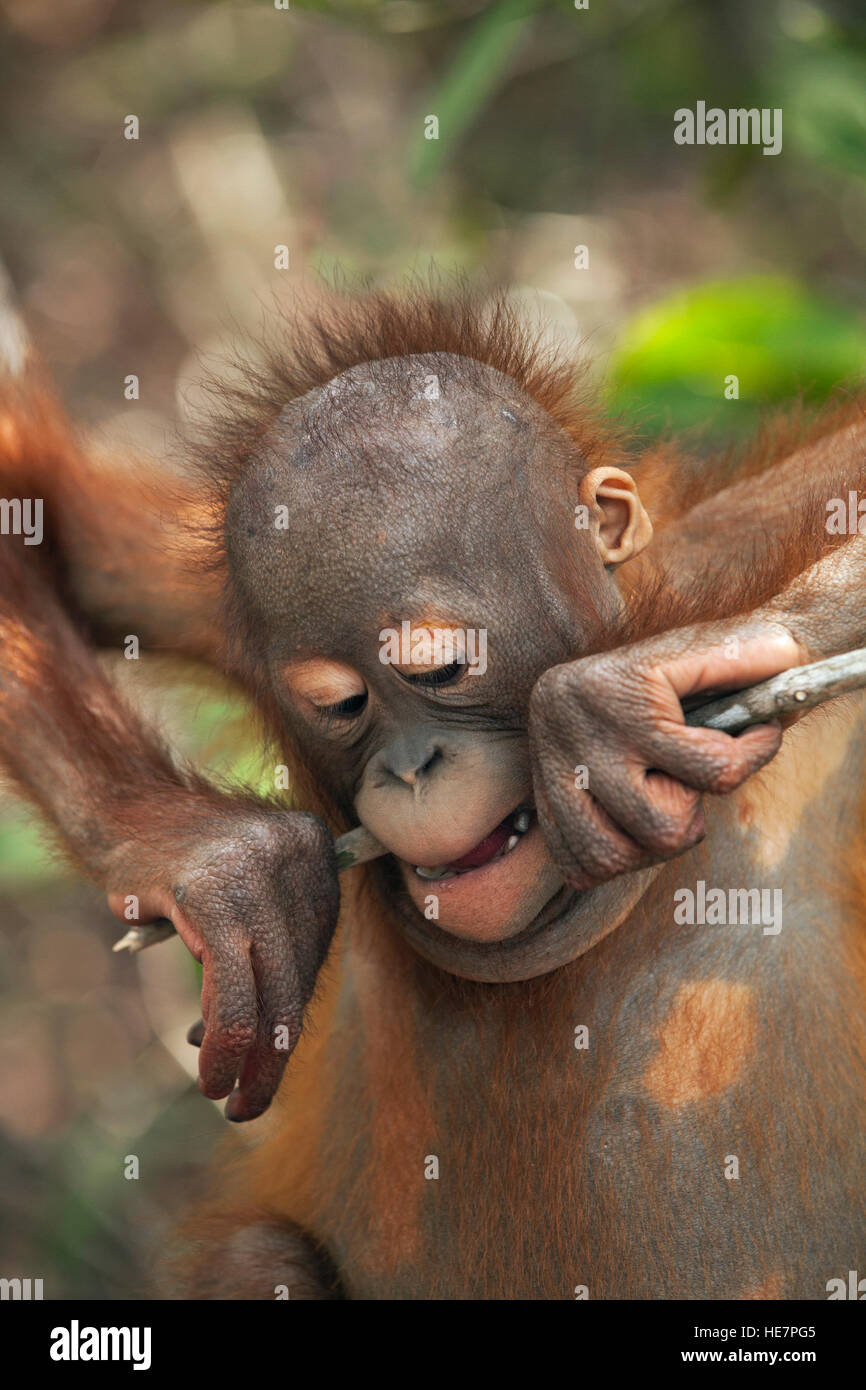 Young Bornean orangutan (Pongo pygmaeus) chewing on tree branch in forest play and training session at the Orangutan - Stock Image