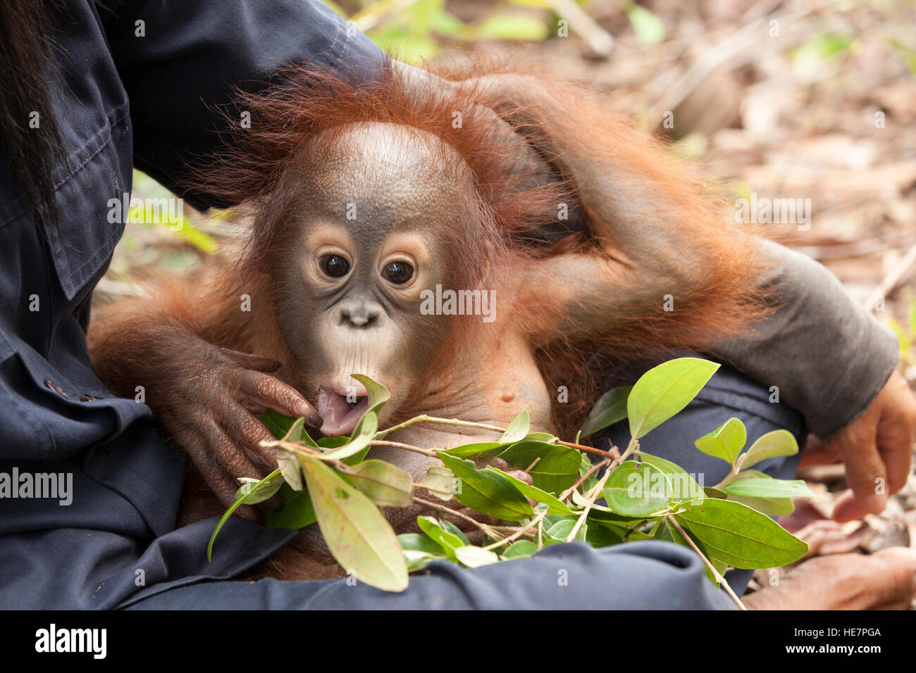 Curious baby orphan orangutan (Pongo pygmaeus) in caretaker's lap playing with leaves during forest training - Stock Image