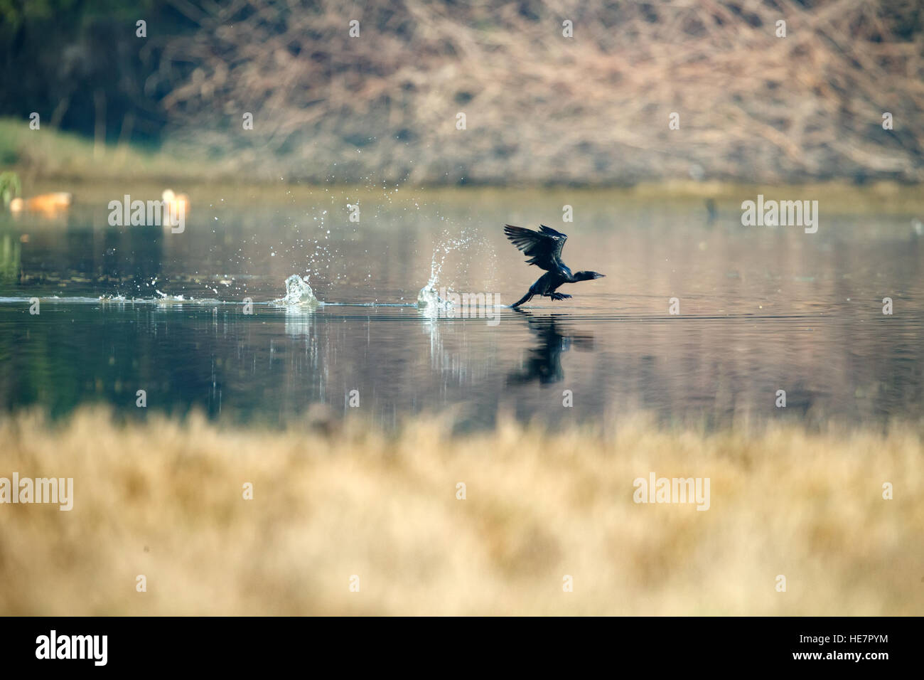 Cormorant, Phalacrocorax carbo, Black cormorant , flying above the  river - Stock Image
