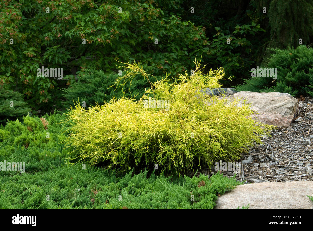 Chamaecyparis pisifera filifera 'Golden Charm' - Stock Image