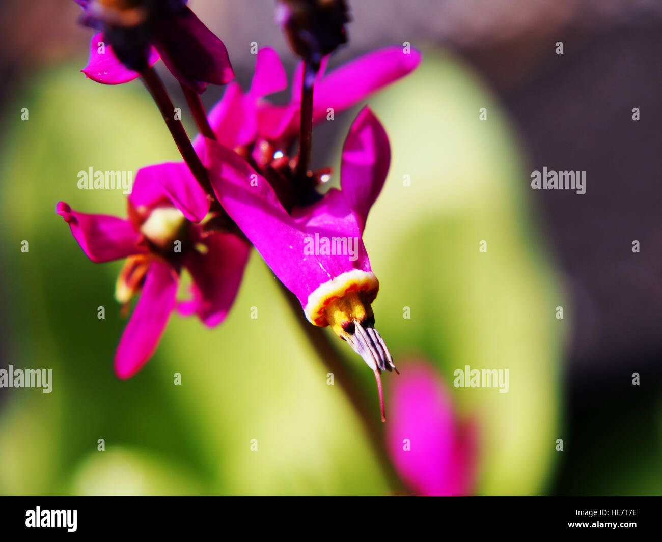 Dodecatheon meadia in full bloom - Stock Image
