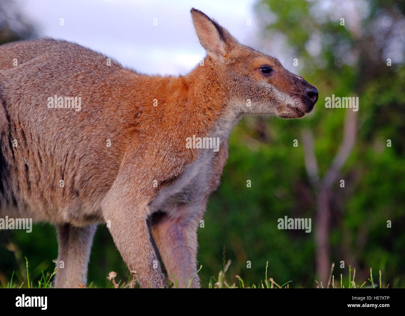 A kangaroo in a field in the state of Victoria,Australia - Stock Image