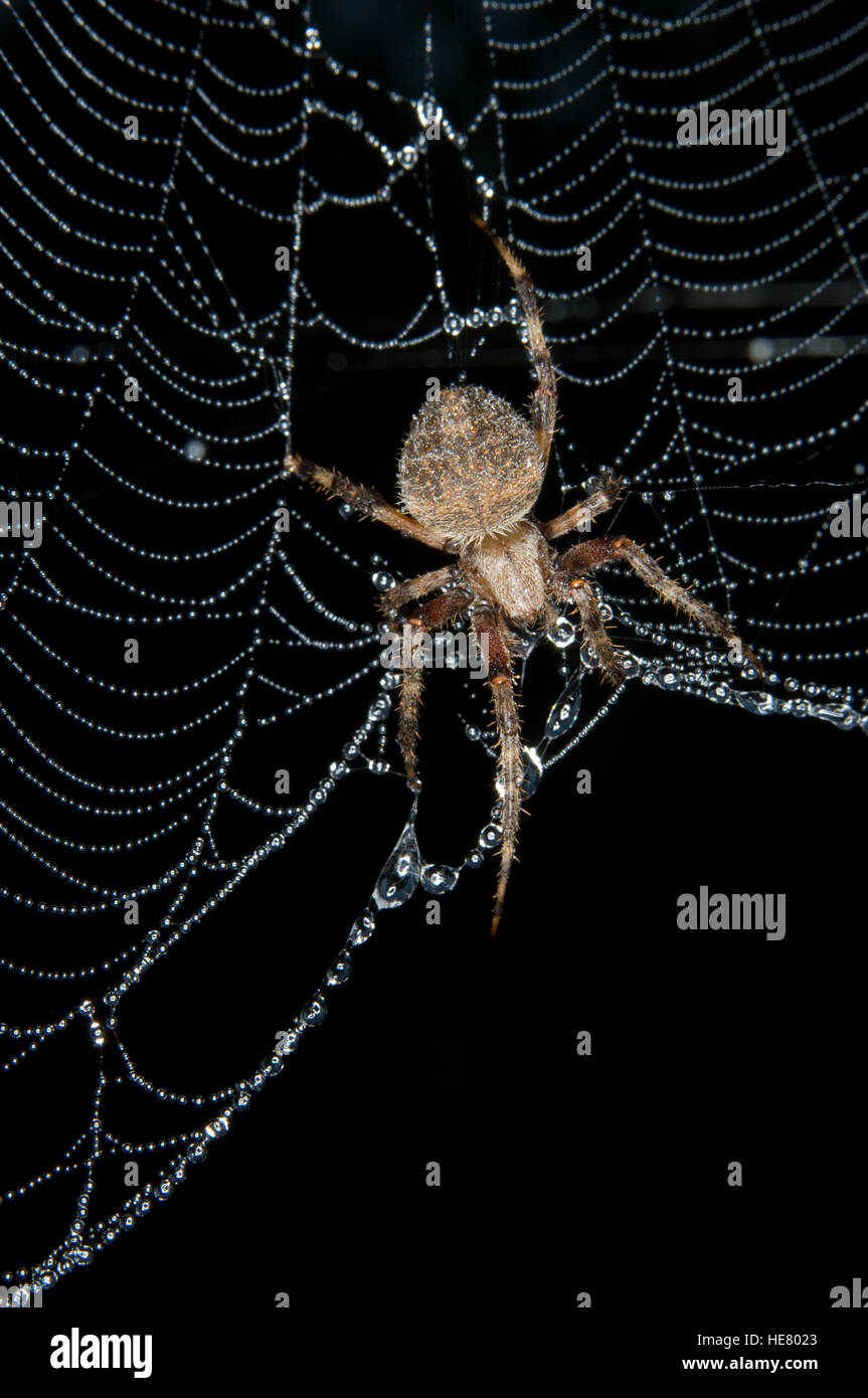 Garden Orb Weaver spider repairing web at night - Stock Image