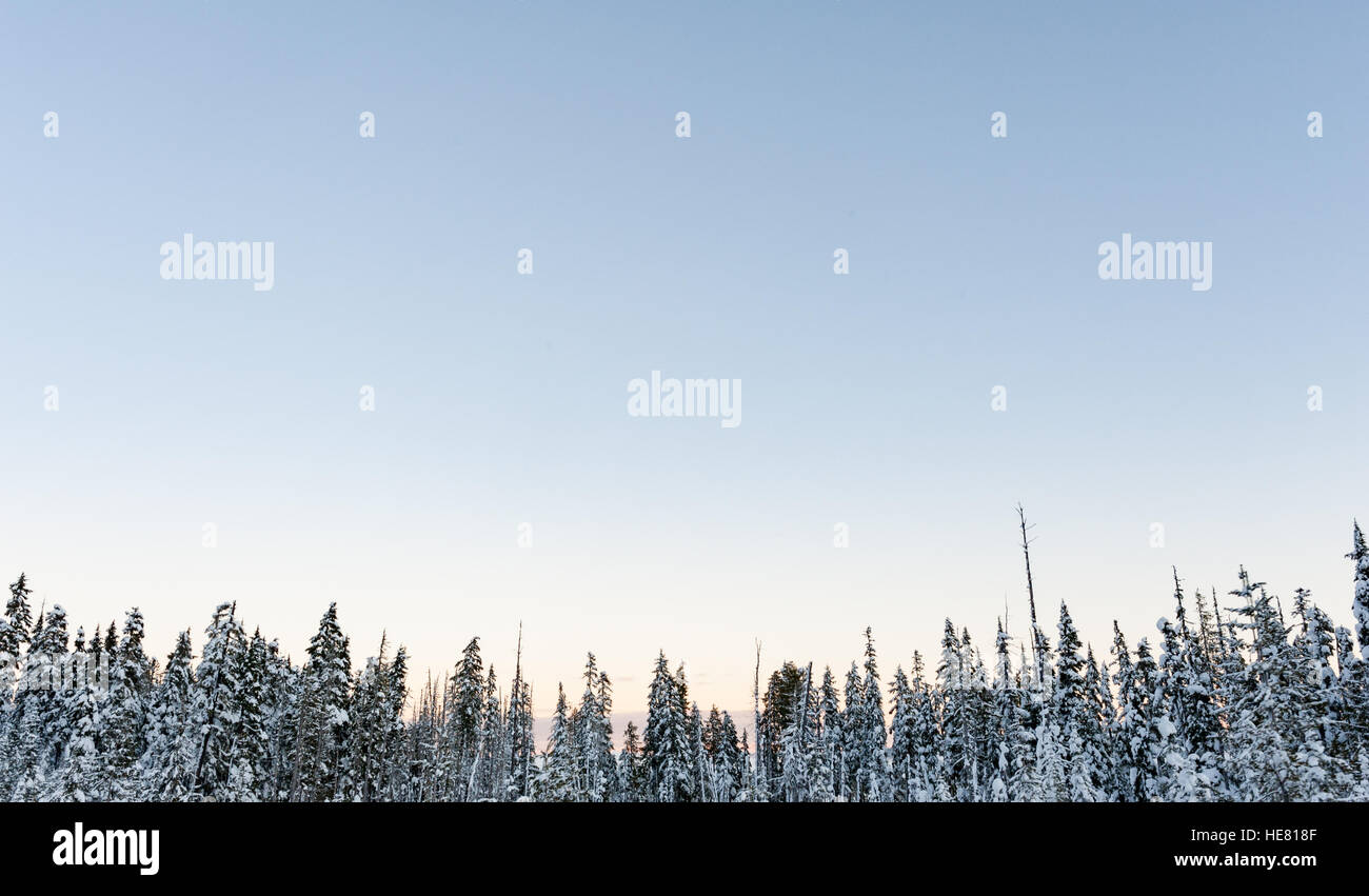 Evergreen trees covered in snow under a clear blue sky - Stock Image