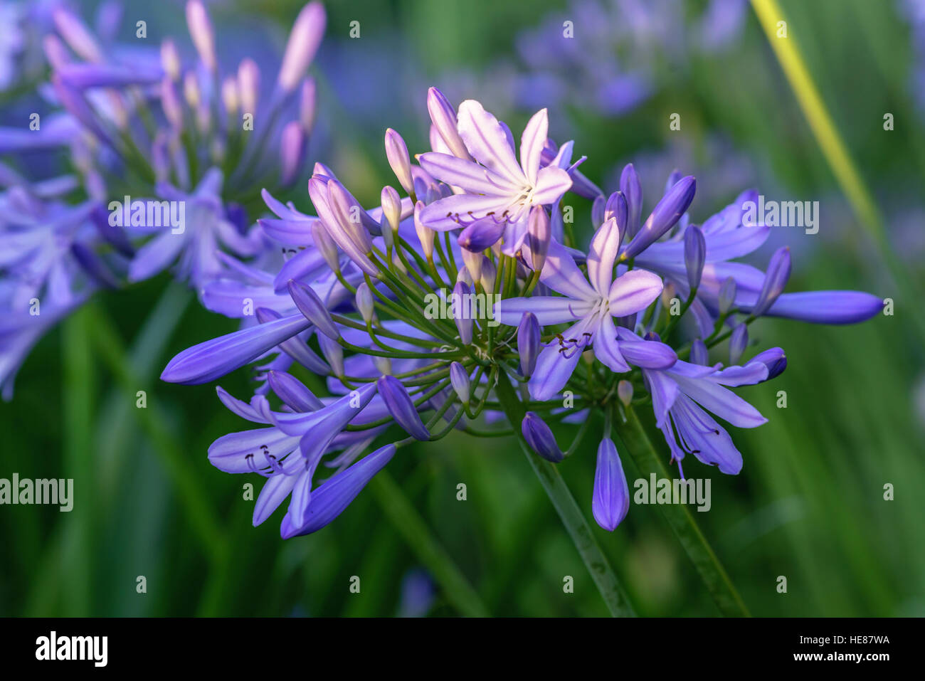 African blue lily agapanthus africanus flowers against a garden african blue lily agapanthus africanus flowers against a garden background white and purple flowers izmirmasajfo Gallery