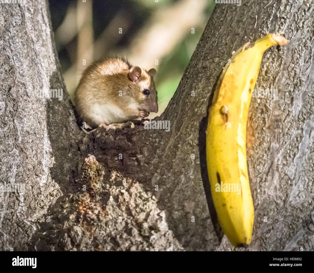 Marsupial Mouse Stock Photos & Marsupial Mouse Stock