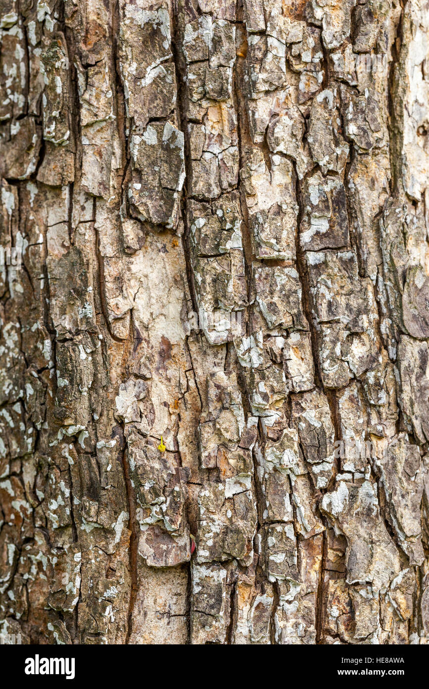 Bark Of A Tree Trunk Field Maple Tree Acer Campestre Stock Photo