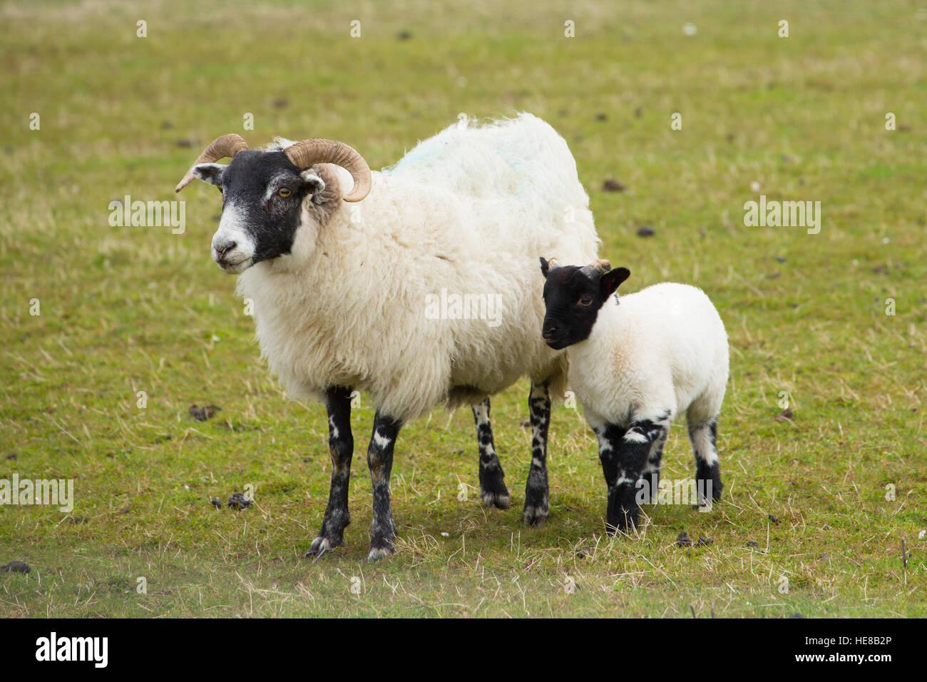 Scottish sheep isle of Mull Scotland uk with horns and white and black legs - Stock Image