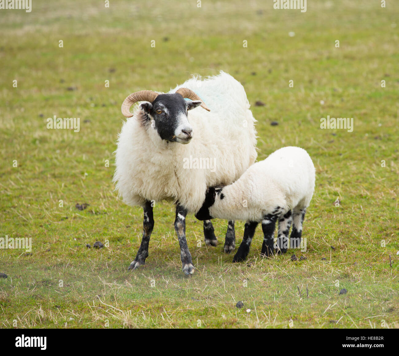 Mother and baby black face sheep isle of Mull Scotland uk with horns ... for Sheep Face Black And White  54lyp