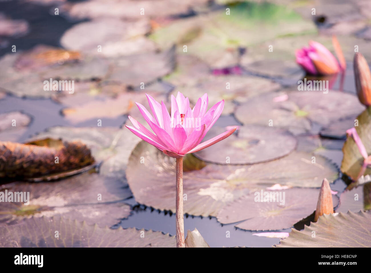 Lotus Blossom Flower At Hanoi Vietnam Stock Photo 129263394 Alamy