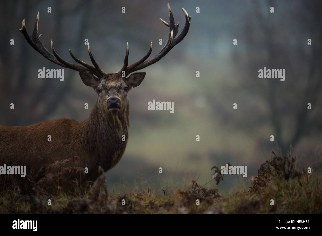 Red deer In richmond park, London, England. - Stock Image