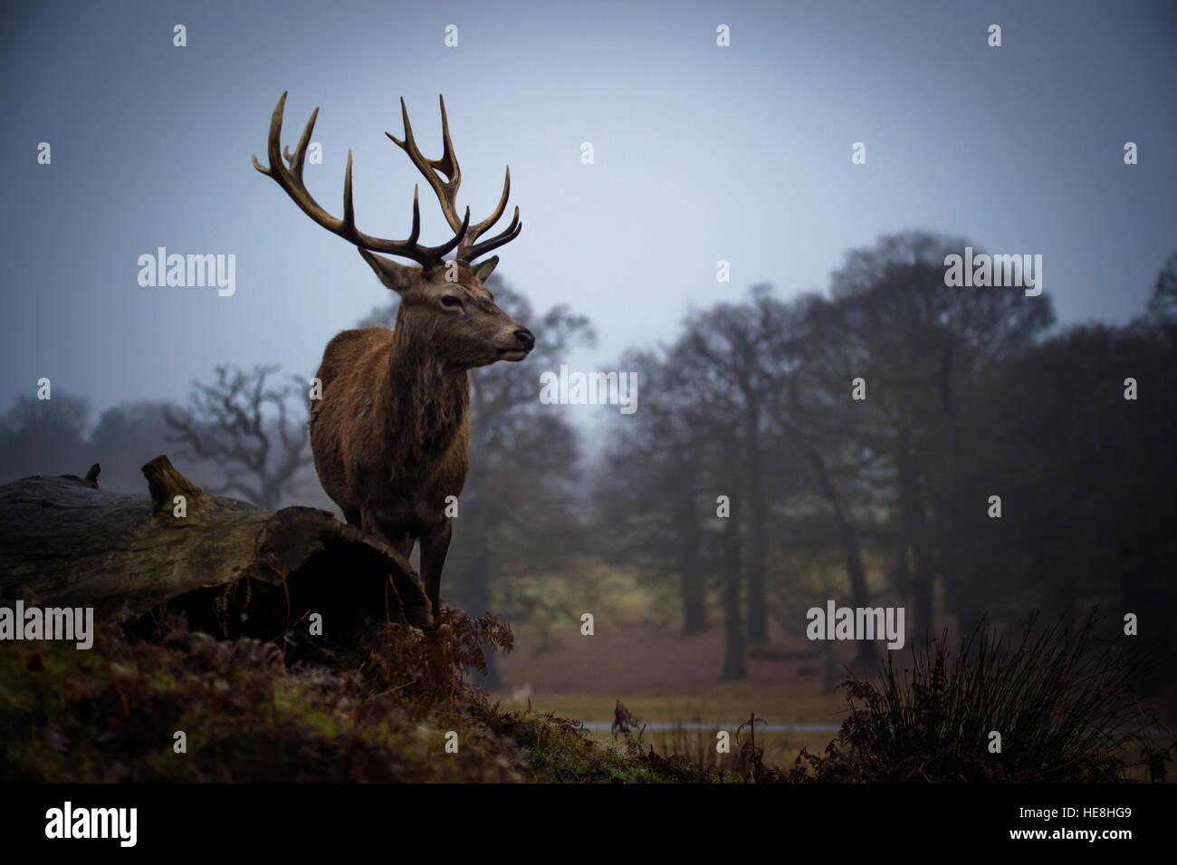Red deer In richmond park, London, England. Stock Photo