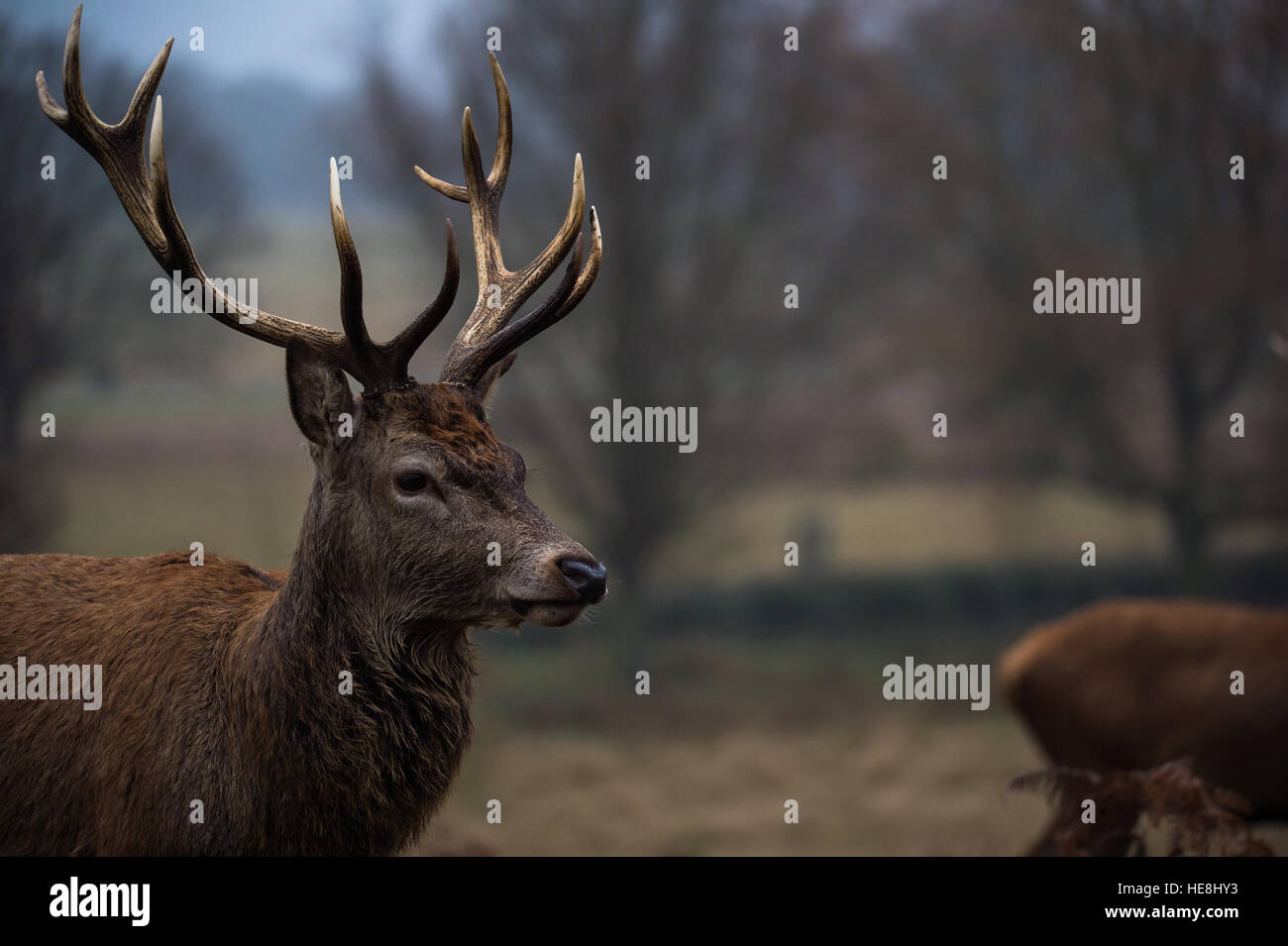 Red deer in Richmond park, London, England - Stock Image