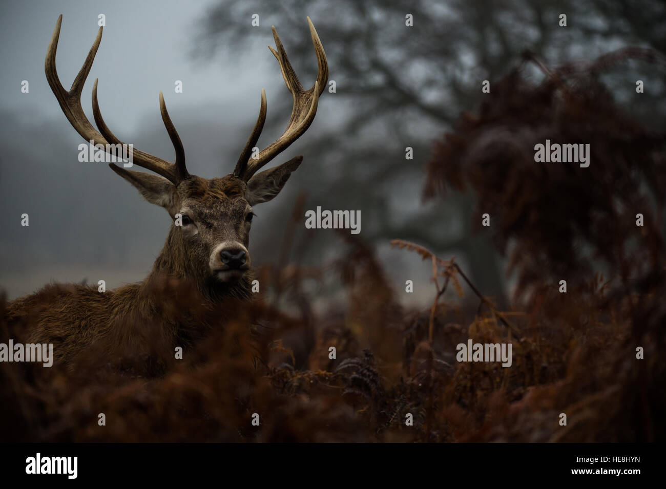 Red deer in Richmond park, London, England Stock Photo