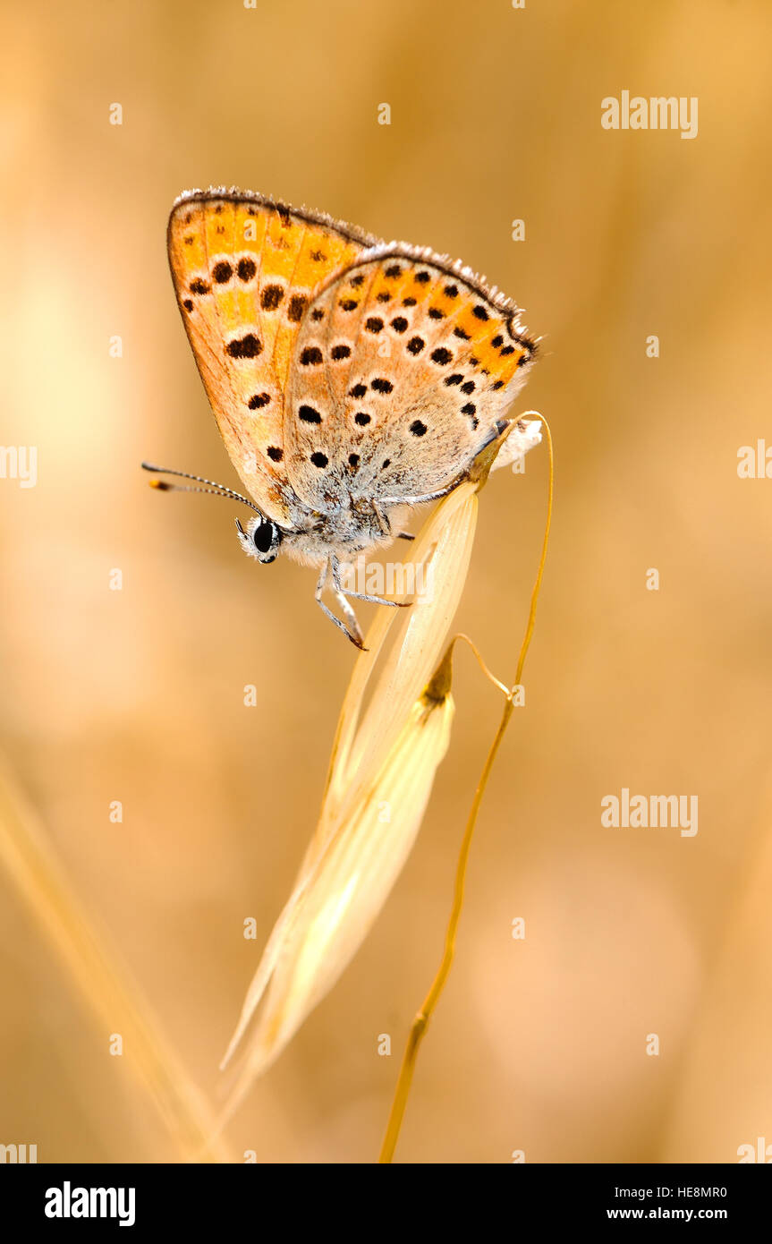 Common copper butterfly, Israel - Stock Image