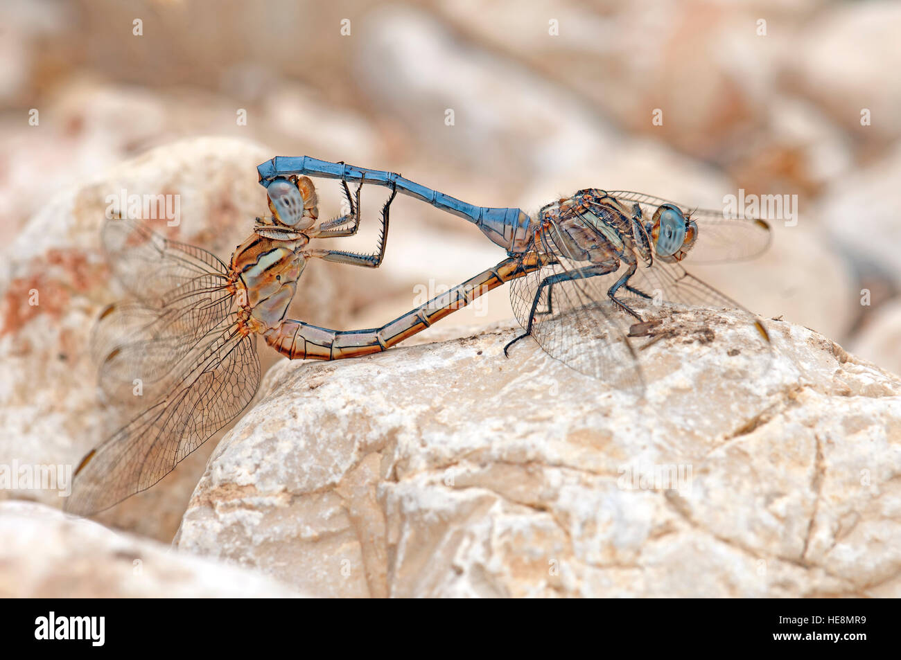 Dragonfly mating on a rock - Stock Image