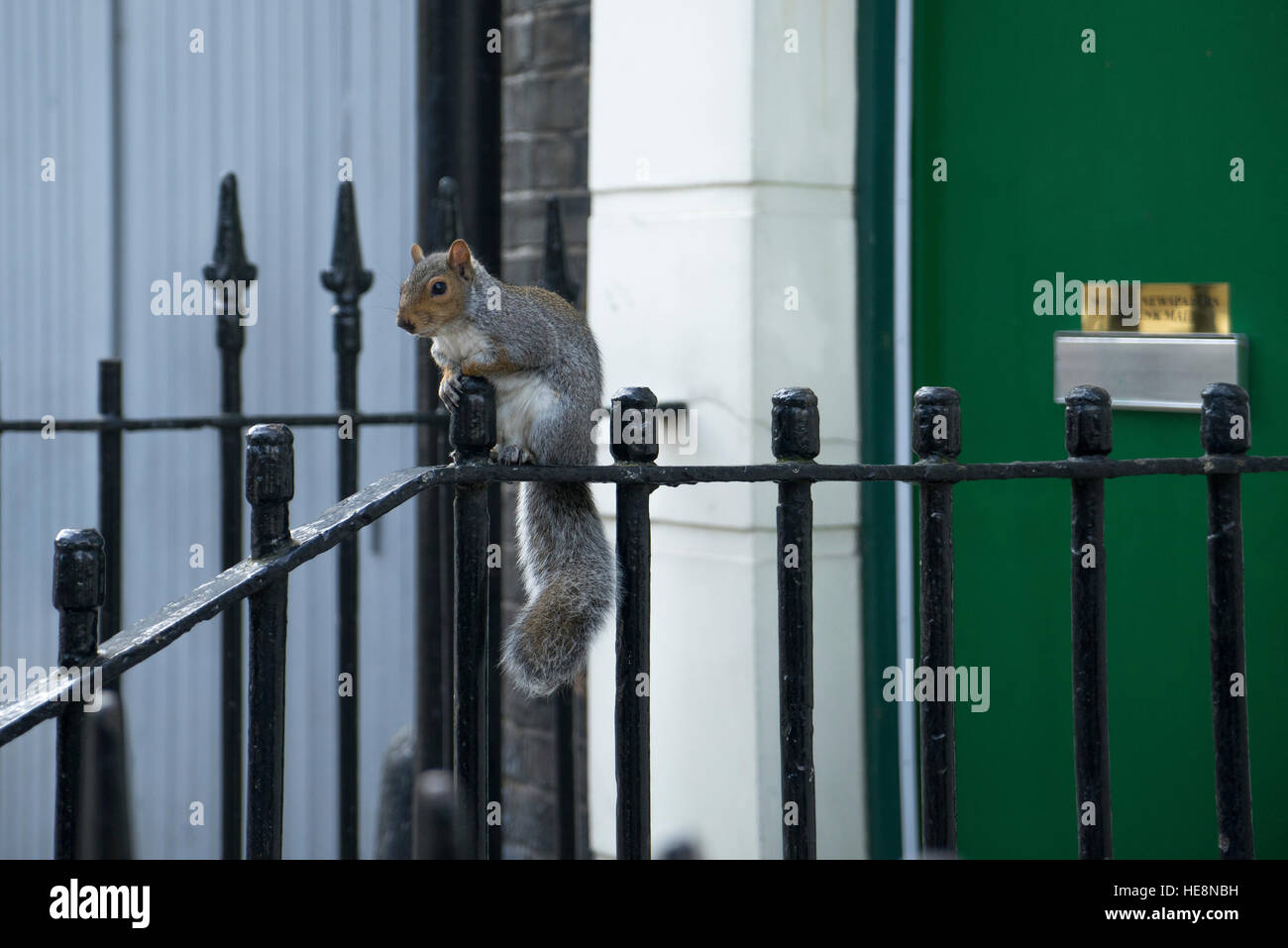 Grey squirrel sitting on railings in Camden Town, London, England - Stock Image