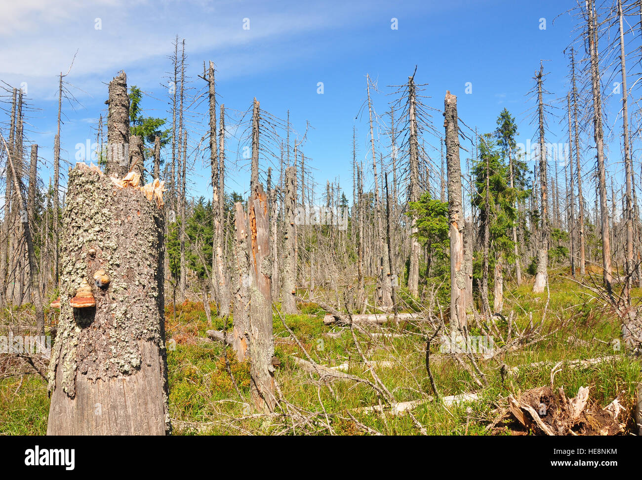 Dead wood in national park Bavarian Forest Stock Photo