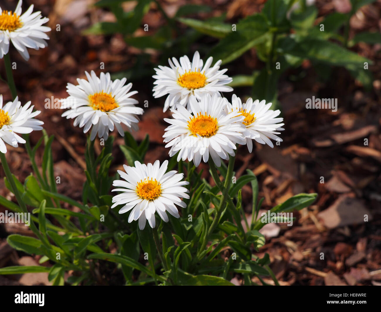 Alpine Aster Aster Alpinus White Semi Double Flowers Stock