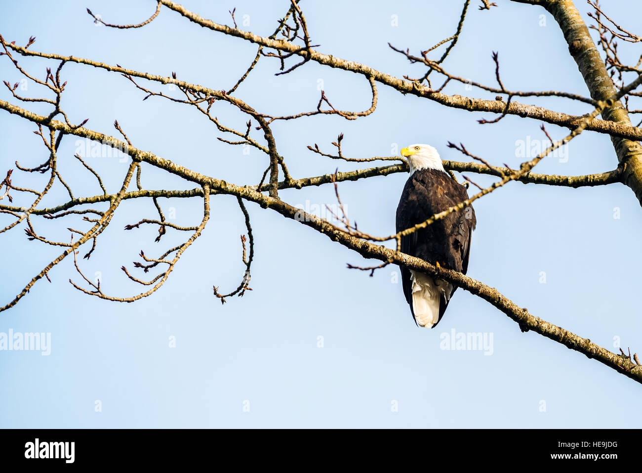 An adult bald eagle perching in the branches of a cottonwood tree along the Harrison River near Harrison Mills, - Stock Image