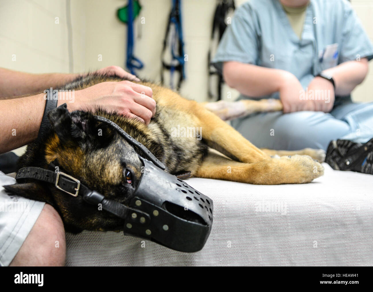 Military Working Dog SStash gets his injured leg examined prior to having his new outfitted leg brace put on at - Stock Image