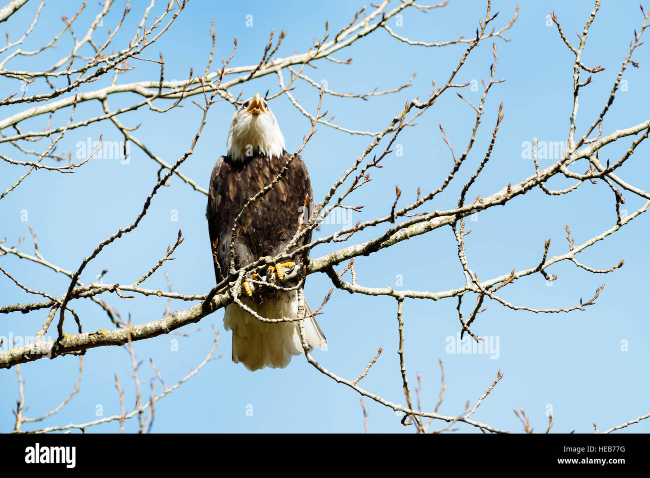 An adult bald eagle perching on a tree in the Chehalis Flats Bald Eagle and Salmon Preserve near Harrison Mills, - Stock Image