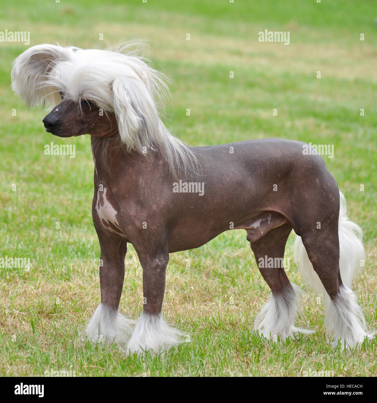 chinese crested - Stock Image