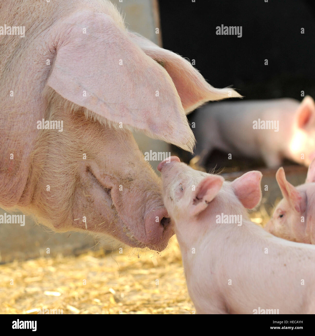 piglet and mother mixed breeds - Stock Image