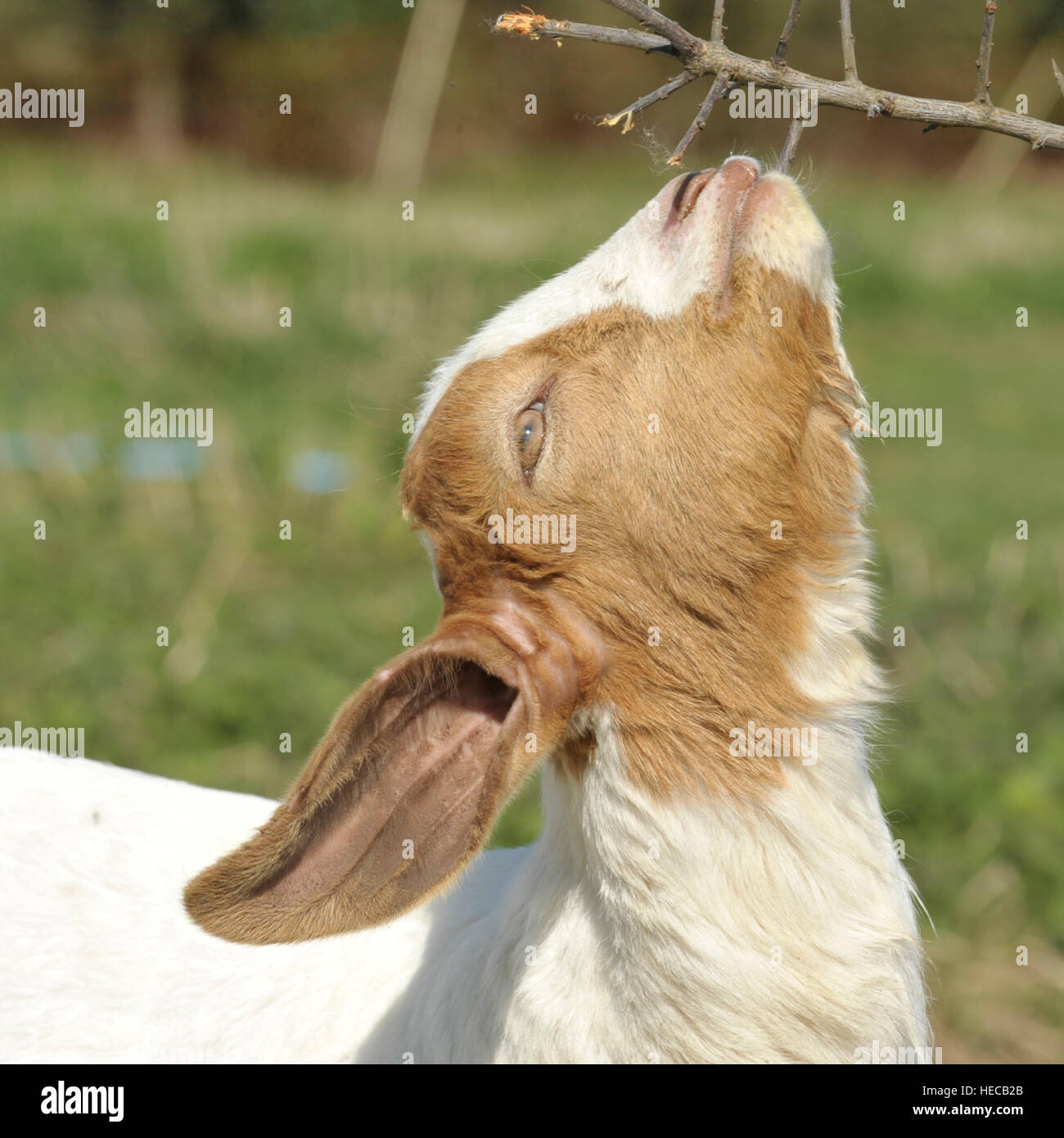 boer goat kid browsing - Stock Image