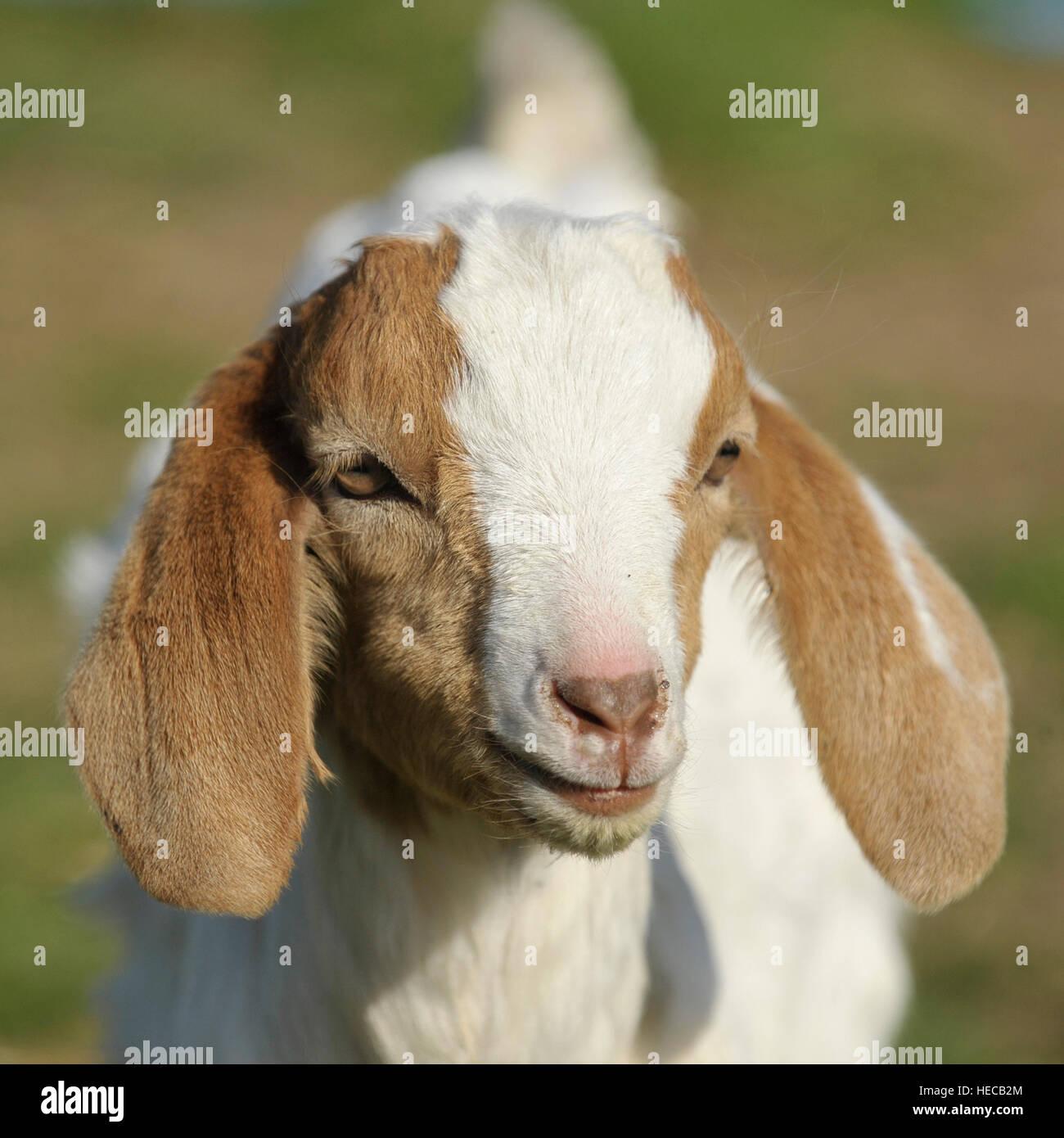 boer goat kid 2 weeks old - Stock Image