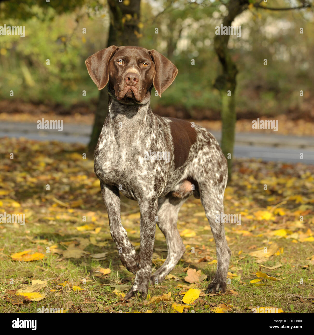 german shorthaired pointer, liver white male Stock Photo ...