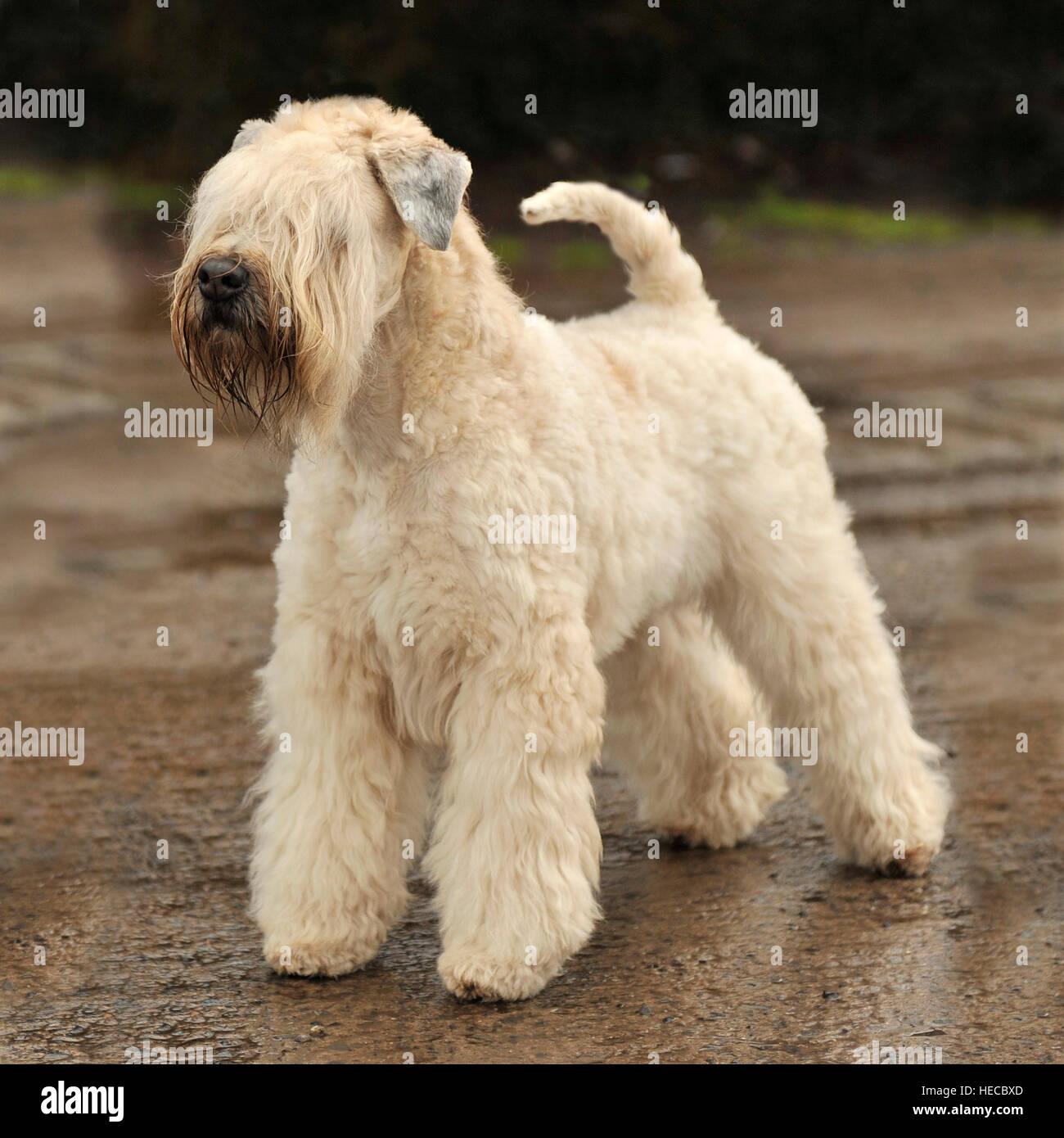 Wheaten Terrier Stock Photos Wheaten Terrier Stock Images Alamy