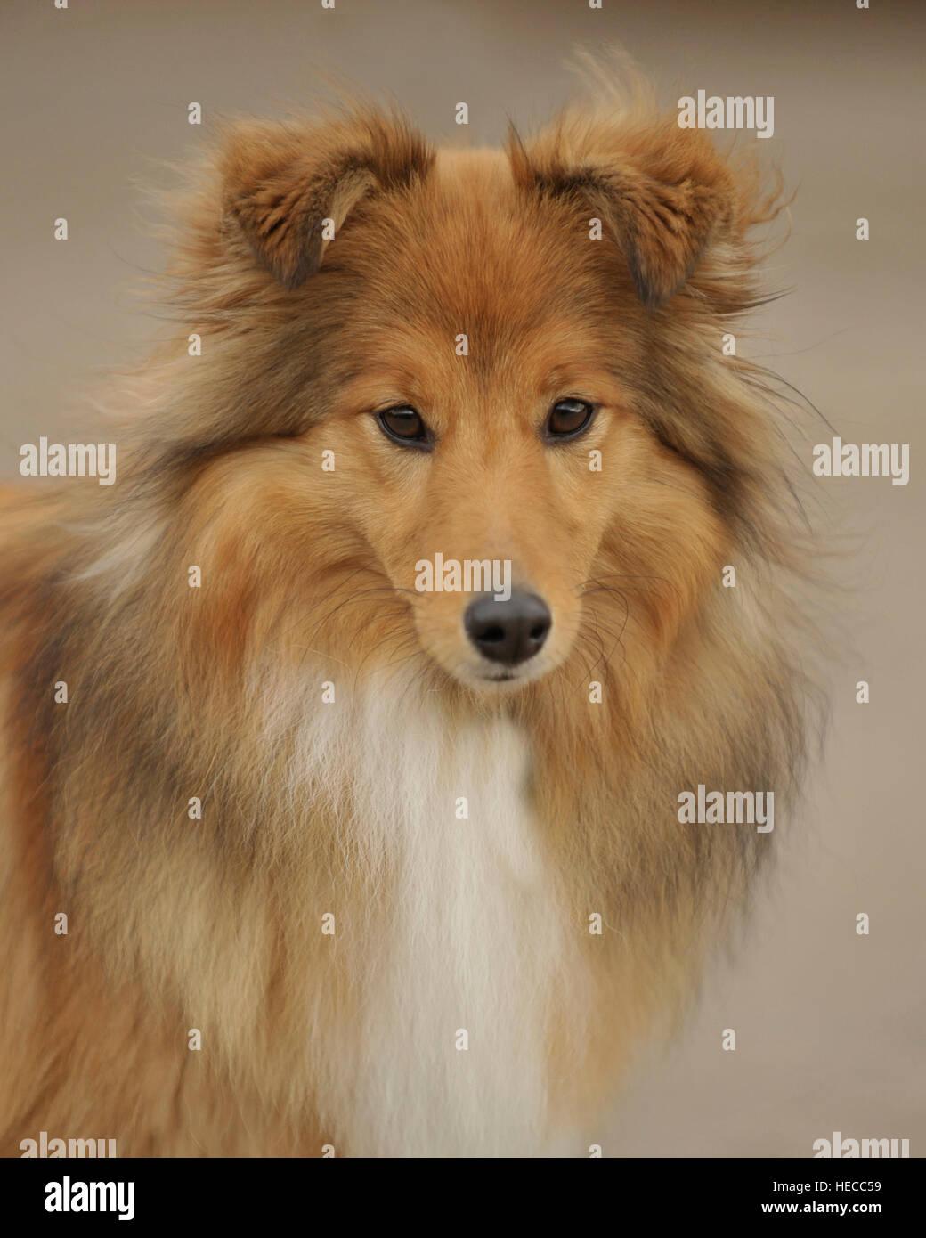shetland sheepdog - Stock Image