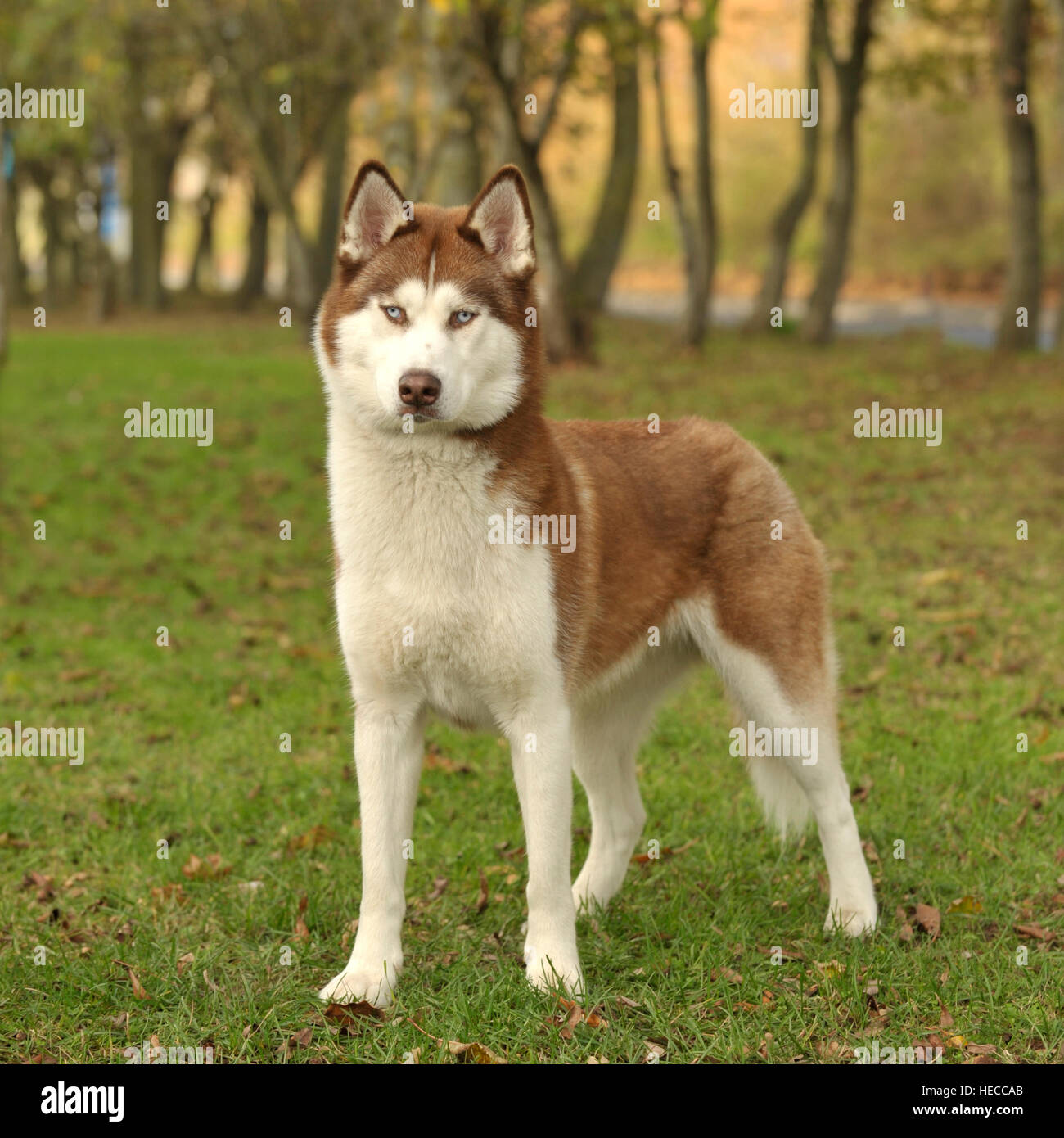 male siberian husky, red and white. - Stock Image