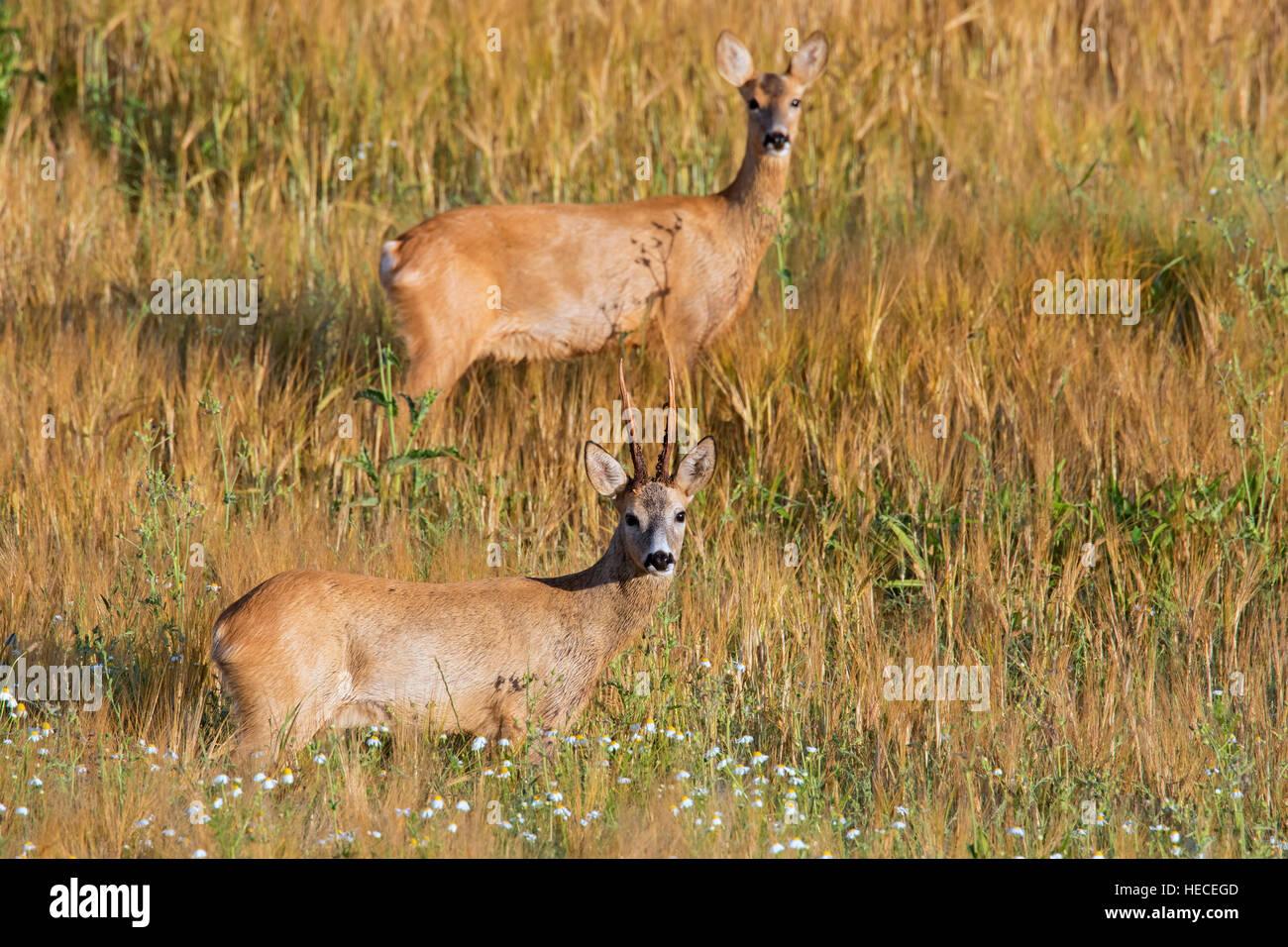 European roe deer (Capreolus capreolus) buck and doe in wheat field during the rut in summer - Stock Image