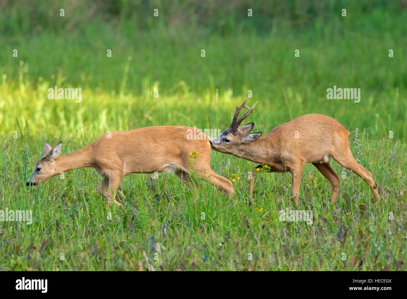 European roe deer (Capreolus capreolus) buck sniffing behind of doe in heat before mating during the rut in summer - Stock Image