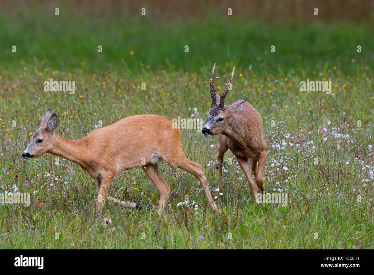 European roe deer (Capreolus capreolus) buck chasing doe in heat before mating during the rut in summer - Stock Image