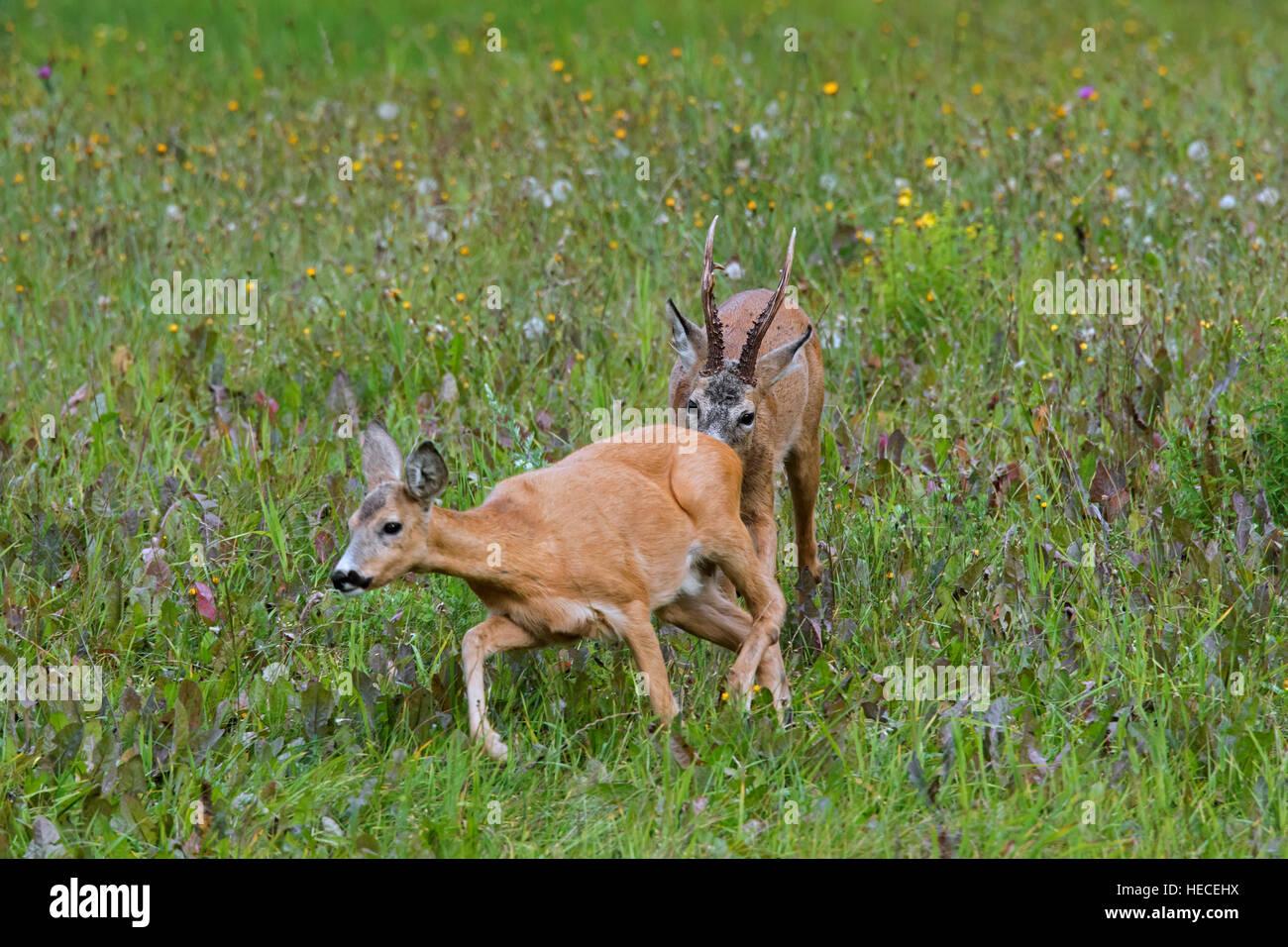 European roe deer (Capreolus capreolus) buck sniffing behind of doe in heat before mating during the rut in summer - Stock Image