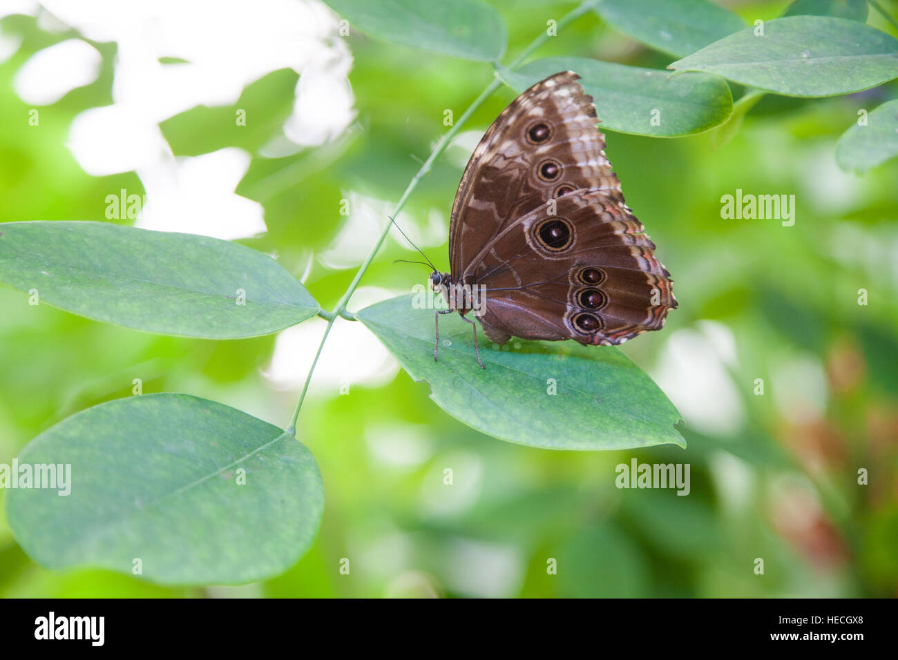 beautiful tropical brown with black circles iridescent butterfly named Morpho peleides, from Nymphalidae family, Stock Photo