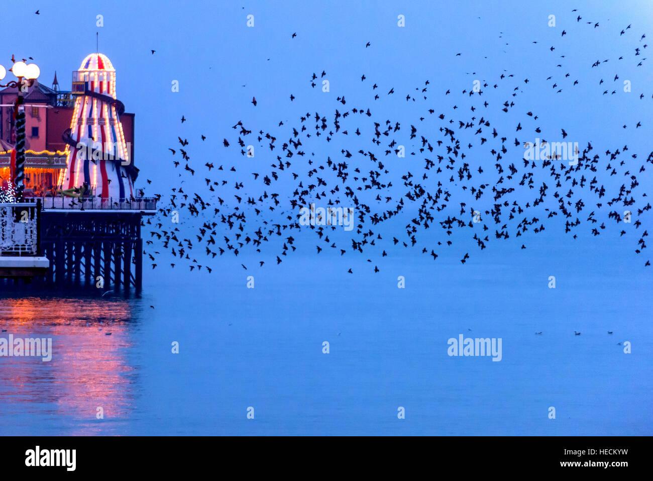 Brighton, UK. 19th Dec, 2016. Weather. Starlings murmurating around Brighton's Palace Pier prior to roosting - Stock Image