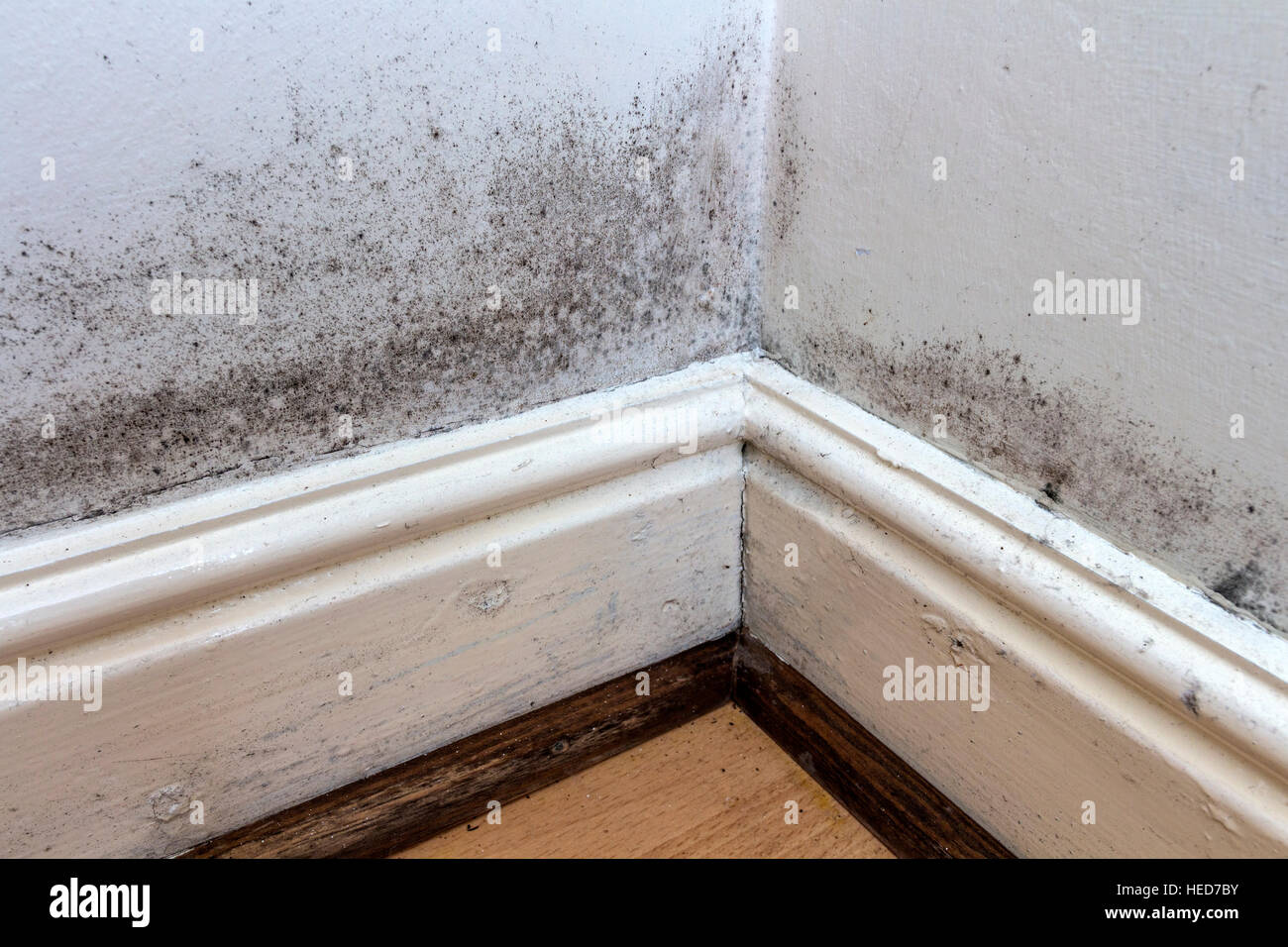 Black Mould Growing on the Walls, Skirting Boards and Floor of a Rented House in the UK - Stock Image