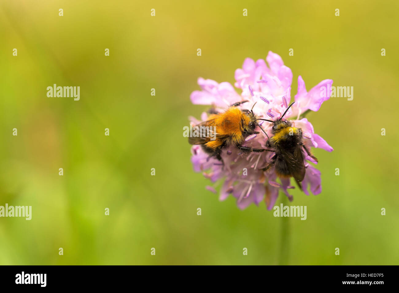 agreement,animal,flower,forest,friendliness,green,high,honey,honey bee,Honey bees,insect,natural,nature,purple,summer,together,wild - Stock Image